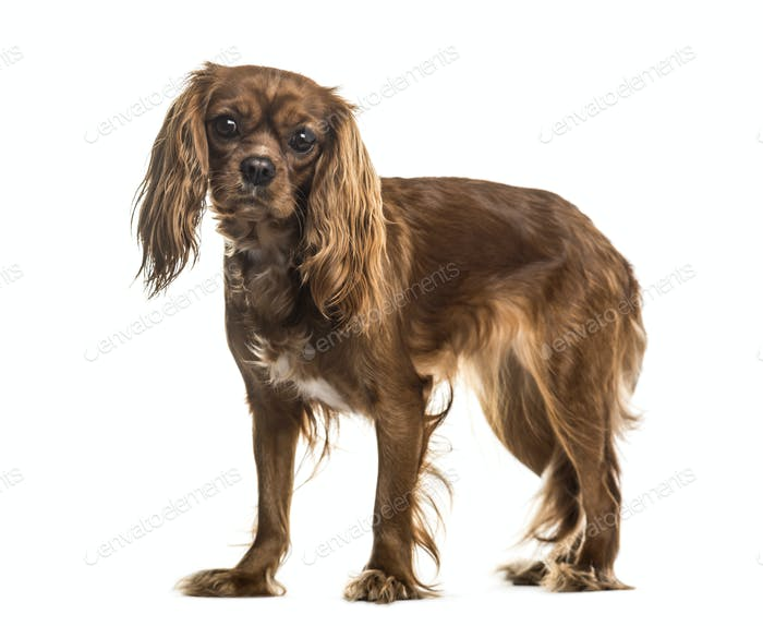 Standing Cavalier King Charles, Dog, pet, studio photography, cut out