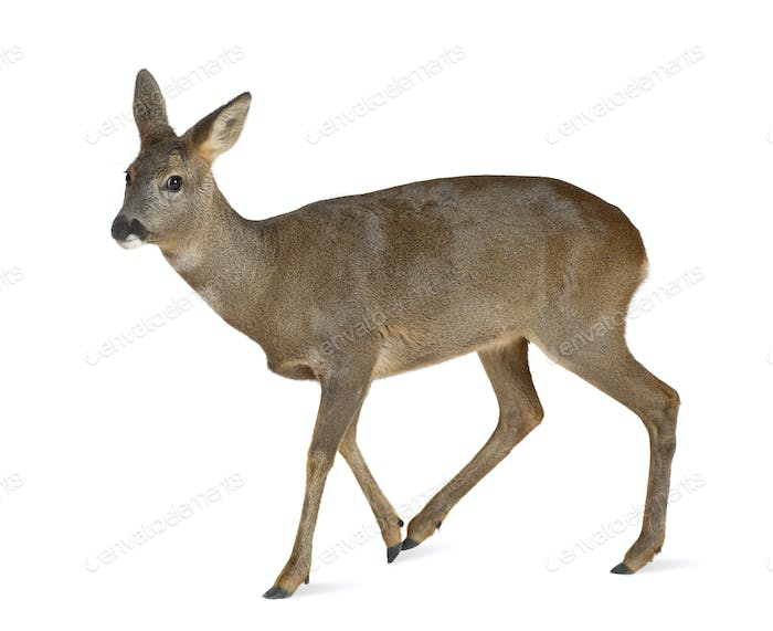 European Roe Deer, Capreolus capreolus, 3 years old, walking against white background