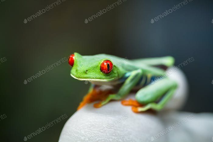 Red-eyed Treefrog in Costa Rica