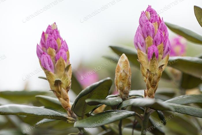 Rhododendron blühen im Frühjahr. Schönes Bild.