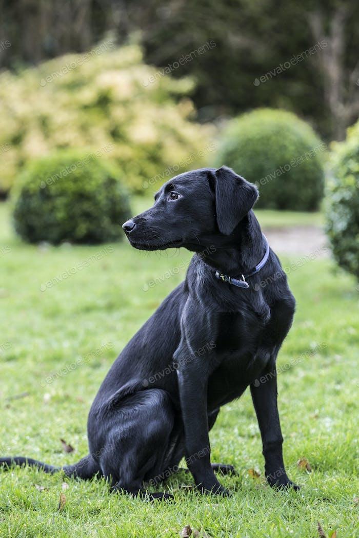 Junger schwarzer Hund sitzt auf einem Rasen in einem Garten.