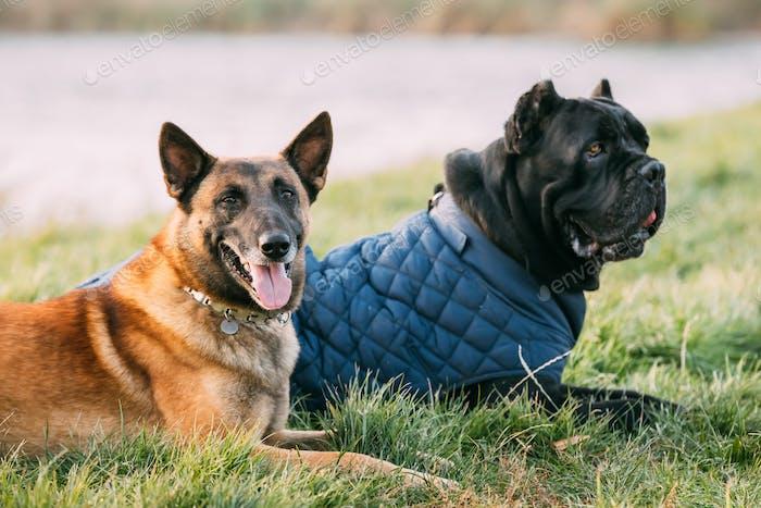 Roter Malinois Hund und schwarzer Stock Corso Hund sitzt zusammen im Gras. Cane Corso Hund trägt in warm