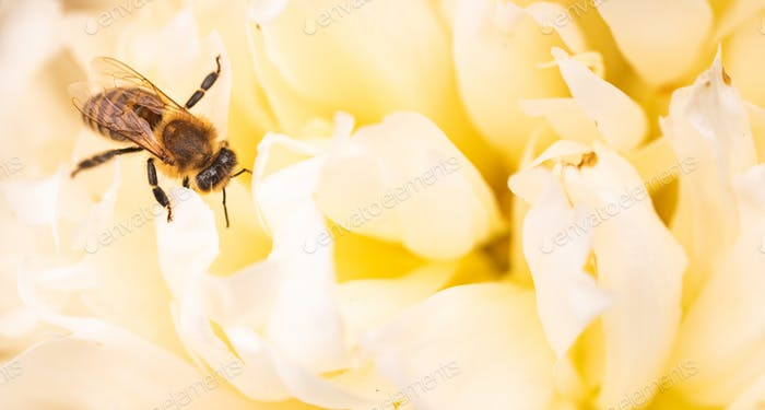 Honey Bee on bright White Yellow Peony Flower, Close Up of bee at work polinating the flower