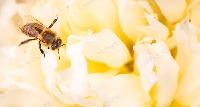 Honigbiene auf hellen weißen gelben Pfingstrose Blume, Nahaufnahme der Biene bei der Arbeit, die die Blume bestäubt