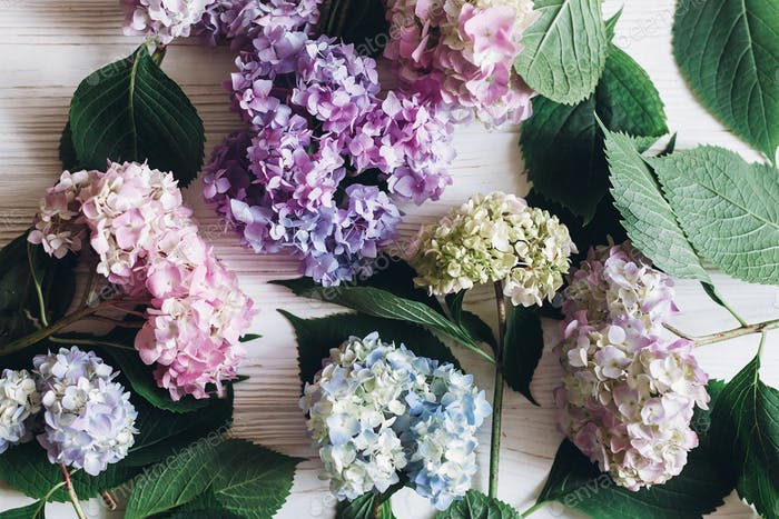 Beautiful hydrangea flowers on rustic white wood with space for text