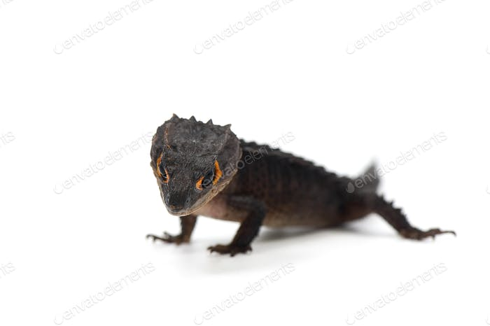 The crocodile skink isolated on white background