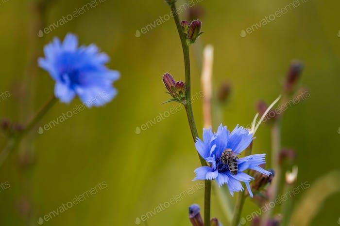 Honigbiene bedeckt mit gelben Pollen, die Nektar aus blauer Blüte auf der Wiese sammeln. Wichtig für