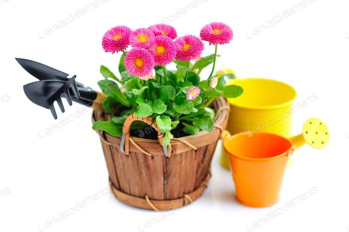 Marguerite Blumen und Gartenwerkzeuge auf weißem Hintergrund