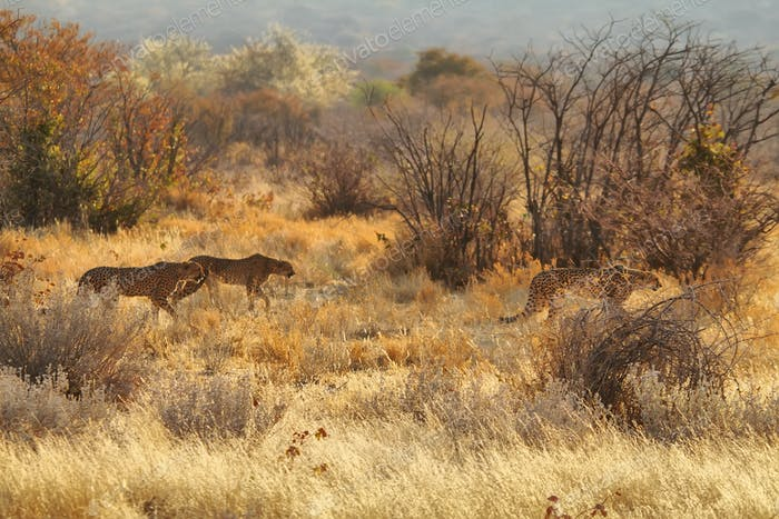 Cheetahs walking in namibian grassland