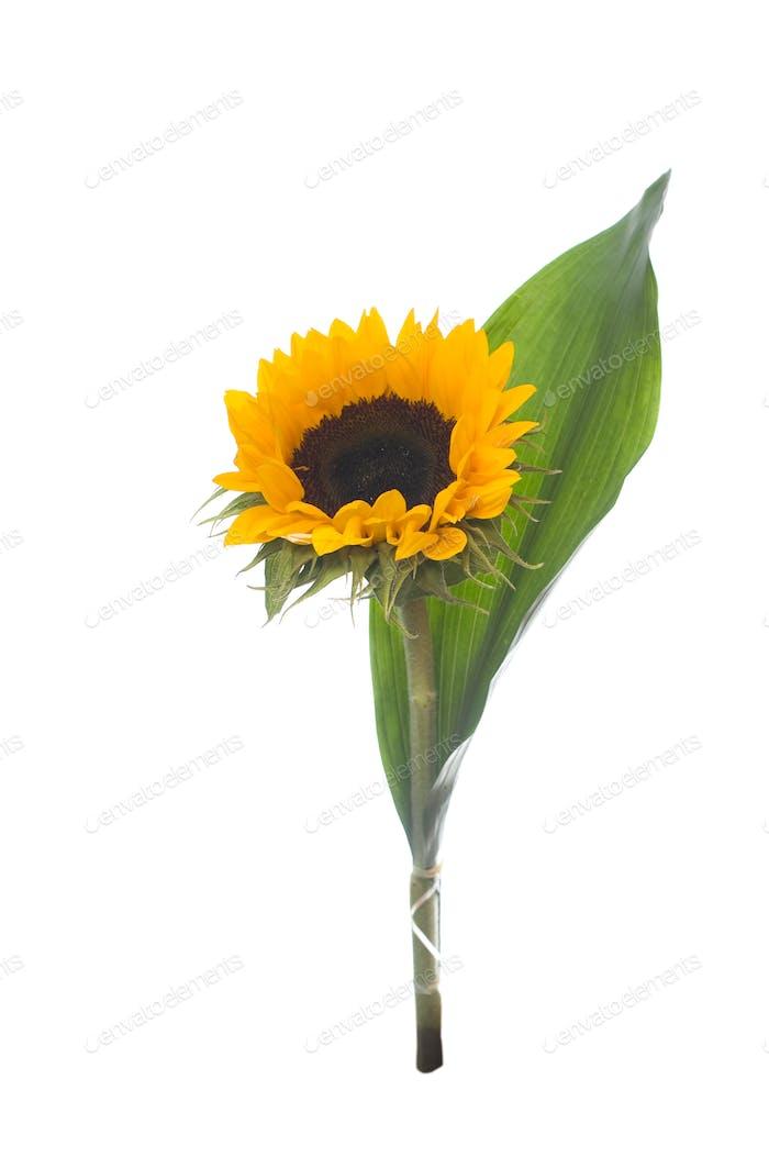 Sunflower, isolated on white.