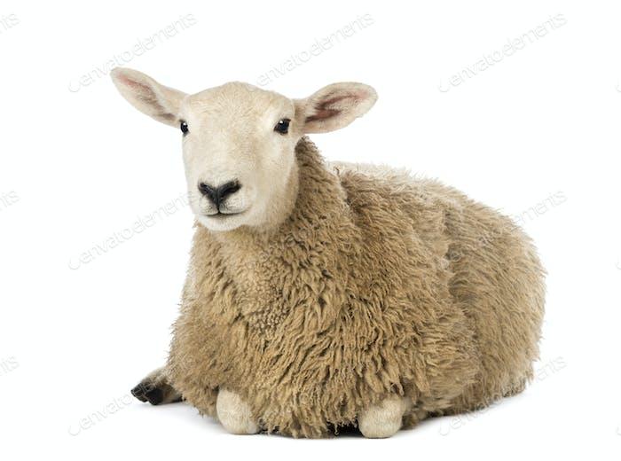 Sheep lying against white background