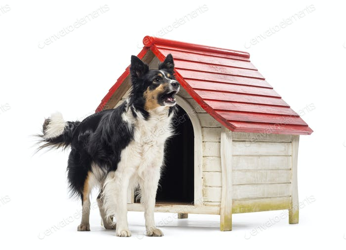 Border Collie barking next to a kennel against white background