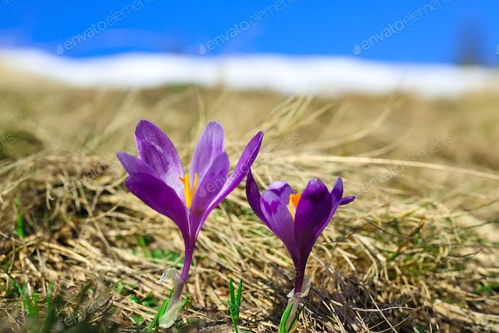 Spring mountain landscape with violet crocuses blooming on the m