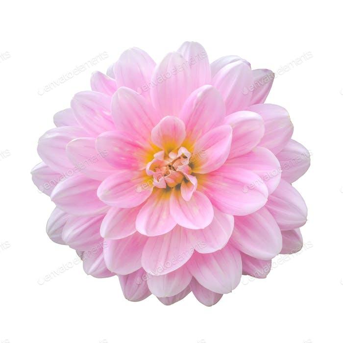 Isolierte rosa Dahlienblüte
