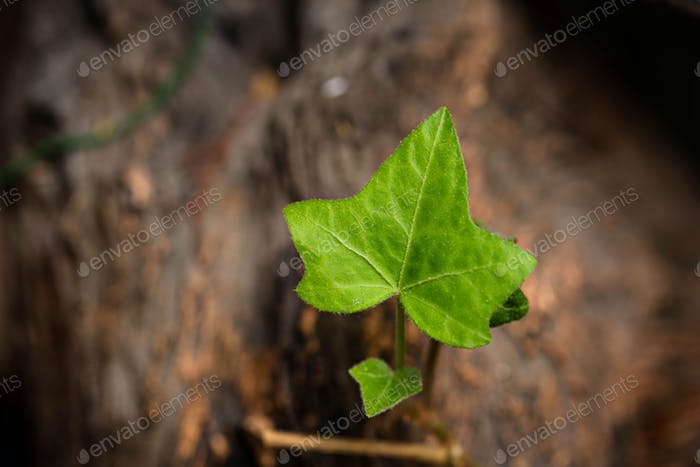 English Ivy Leaf, close up