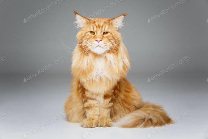 Красивая кошка мейн-кун