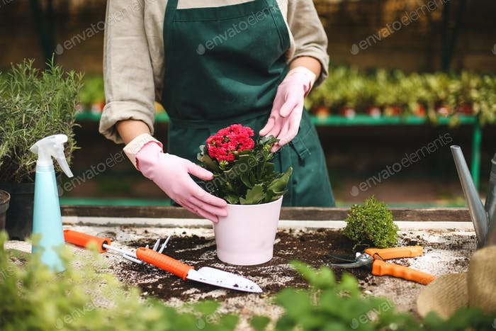 Close up woman hands in pink gloves planting a flower in pot while working in greenhouse
