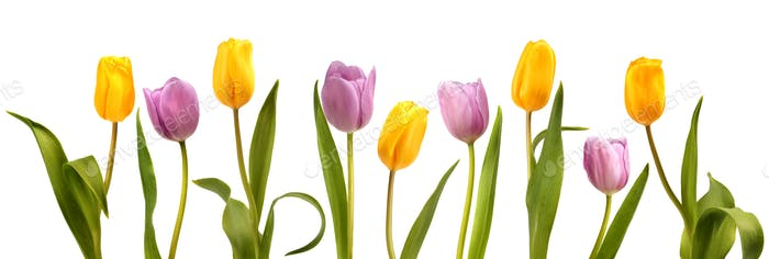 Set of nine pink and yellow tulip flowers