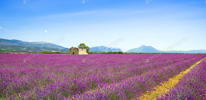 Lavender flowers blooming field, old house and tree. Provence, F