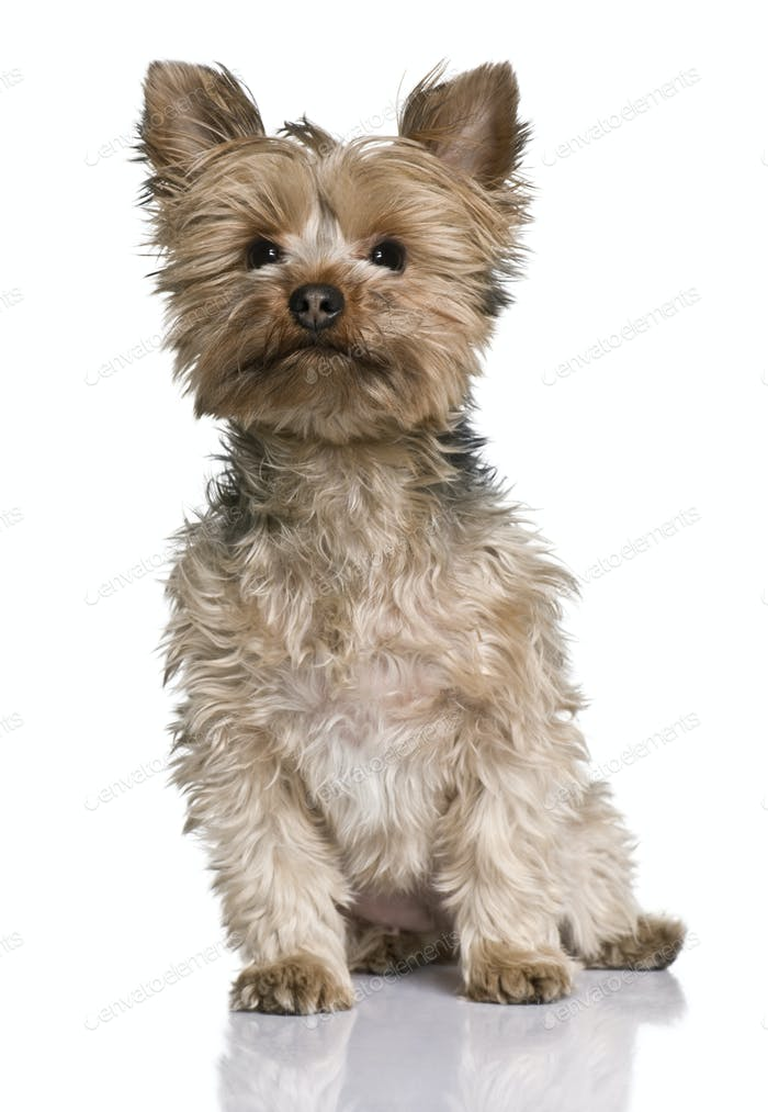 Yorkshire terrier, 20 months old, sitting in front of white background