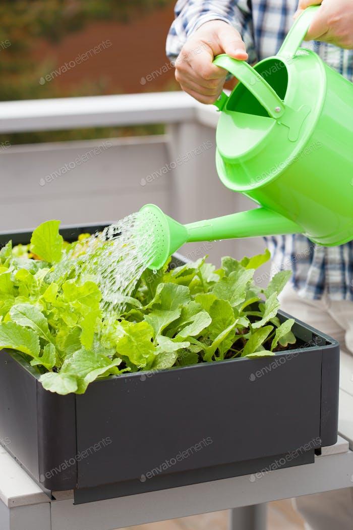 man gardener watering vegetable garden in container on balcony