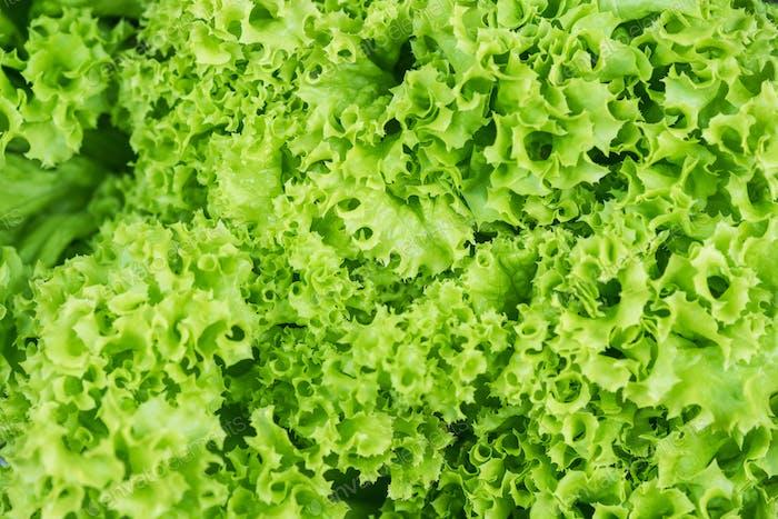 Fresh lettuce close up, full frame