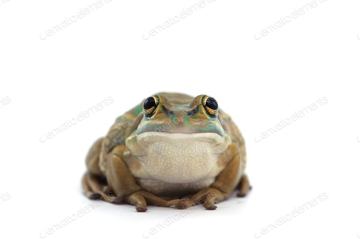 Giant flying frog isolated on white background