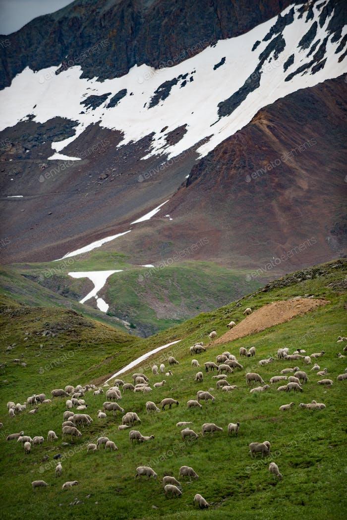Sheep Grazing high in the Colorado Mountains
