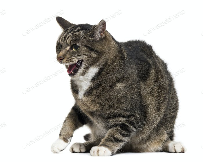 Mixed-breed cat with open mouth, isolated on white