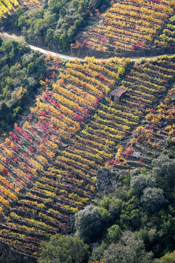 Colorful Vineyard on a slope with a small Warehouse and Agricultural Path