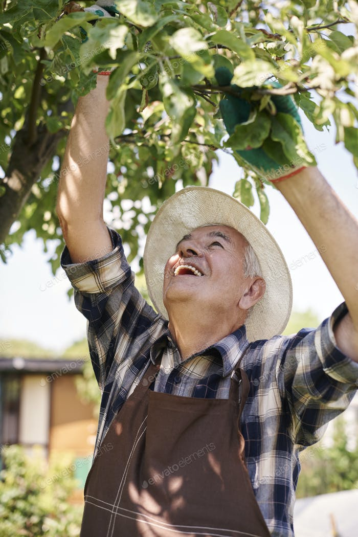 Senior man picking up fruits from the apple tree