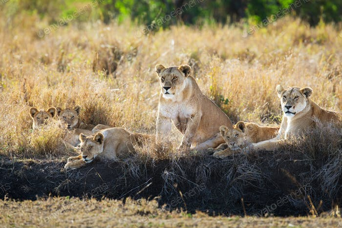 Lions pride resting in the grass