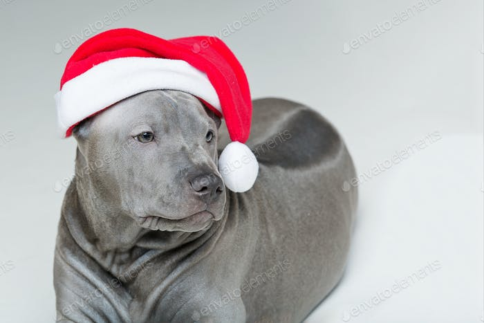 thai ridgeback puppy in xmas hat