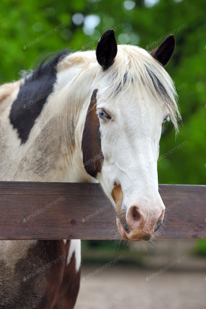 Portrait of a horse with blue eyes