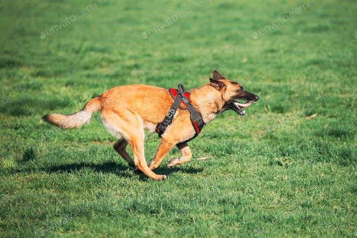 Malinois Dog Sit Outdoors In Grass. Belgian Sheepdog, Shepherd,