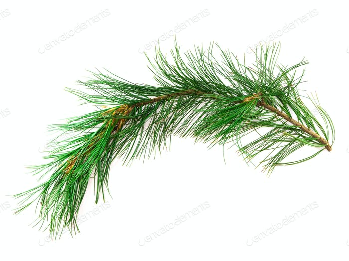 Branch cedar on a white background
