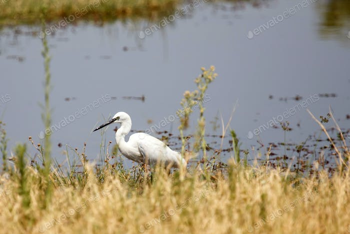 Great White Egret - Okavango Delta, Africa