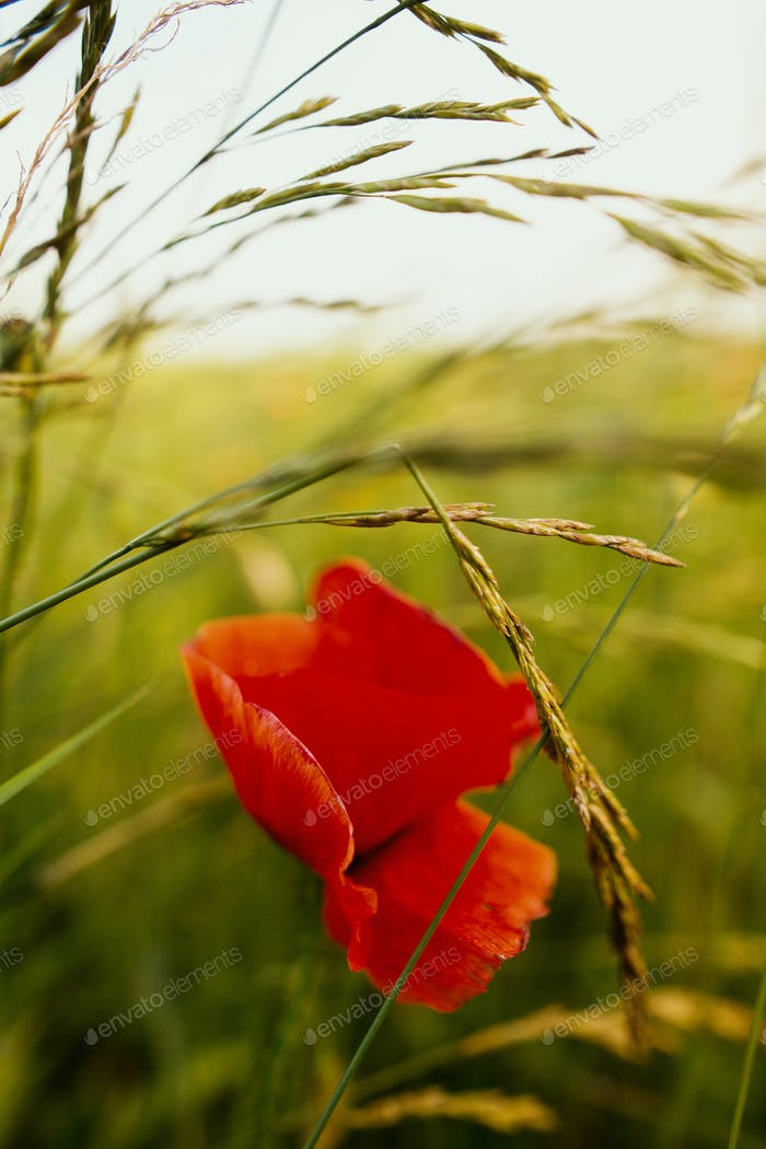 Red poppy and herbs in summer field in sunset light