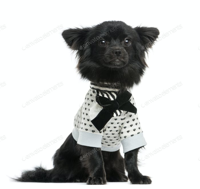 Dressed-up Chihuahua sitting, 1 year old, isolated on white