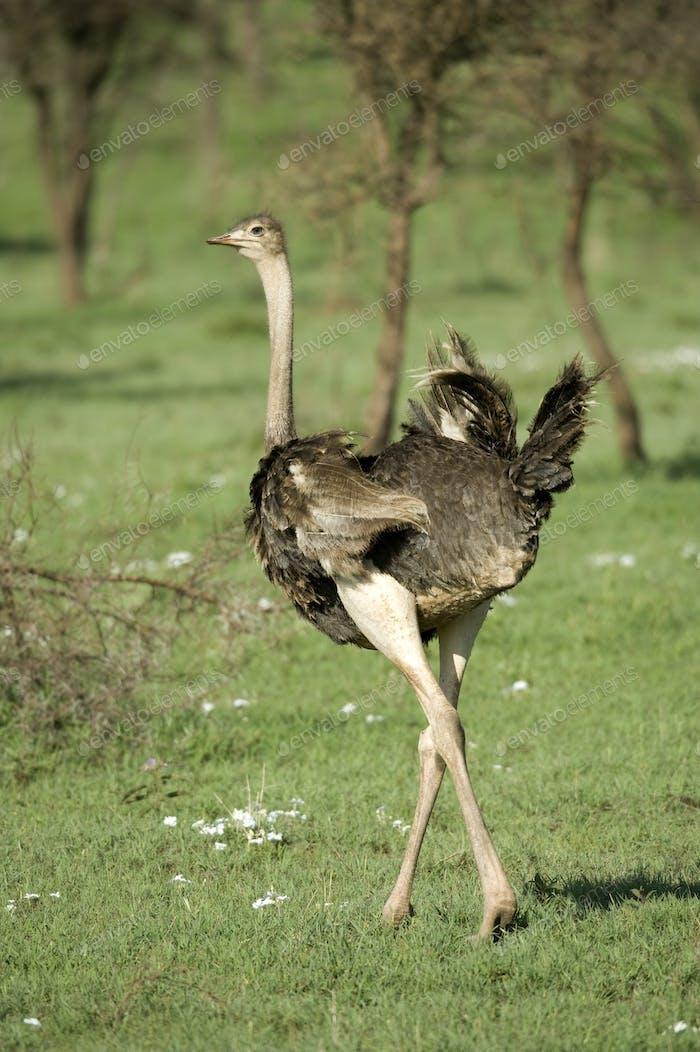 Strauß in der Serengeti