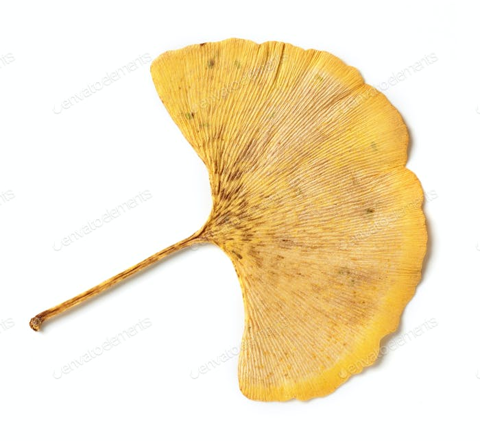 yellow leaf of ginkgo biloba