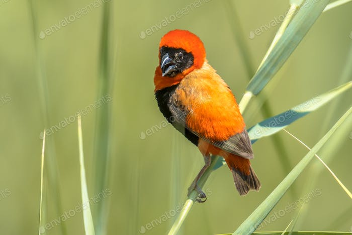 Southern Red Bishop in reed