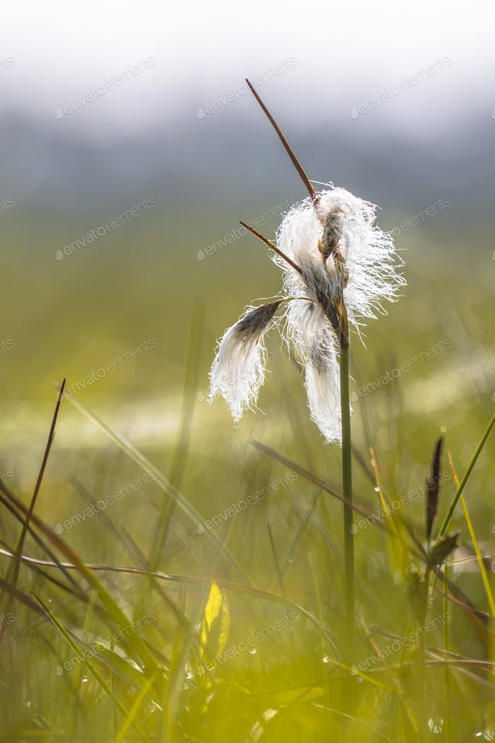 Common cottongrass close up