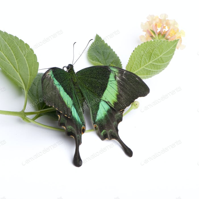 Papilio Palinurus Schmetterling