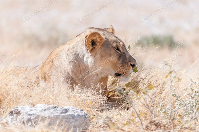 Close-up of African Lioness lying in grass