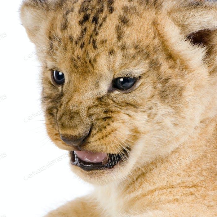 Löwenjunges c