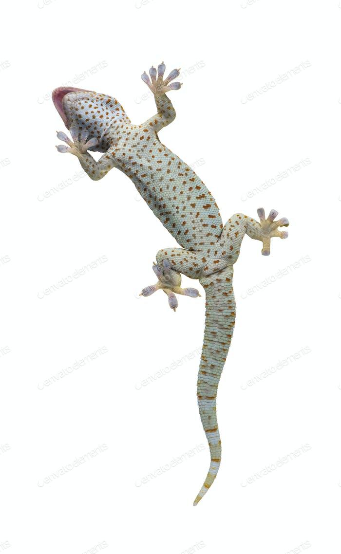 Tokay gecko - Gekko gecko