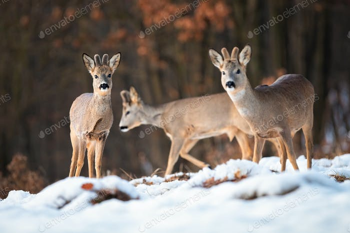 Multiple wild deer bucks in wintry wildlife scenery from nature