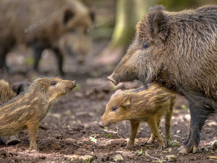 Family argument Wild Boar