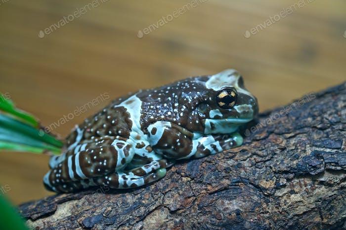 Amazon milk frog close-up